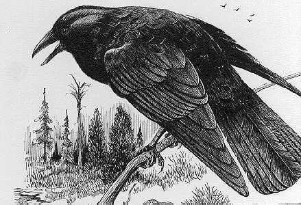 crow152da66ut8.jpg