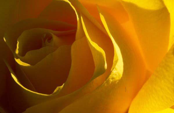 sari-gul-resimleri_resimleri-16.jpg